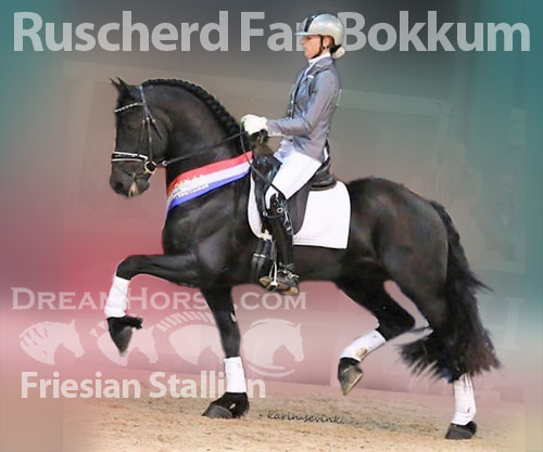 Horse ID: 2174830 Friesians For sale Excelling in DRESSAGE! Douwe