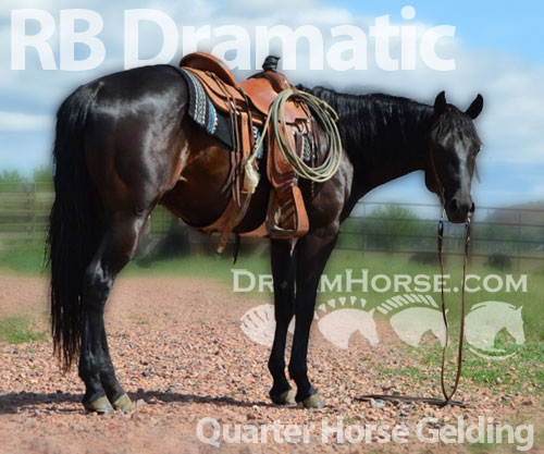 Horse ID: 2181150 RB Dramatic
