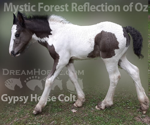 Horse ID: 2182460 Mystic Forest Reflection of Oz