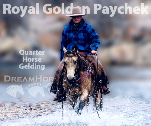 Horse ID: 2193953 Royal Golden Paychek